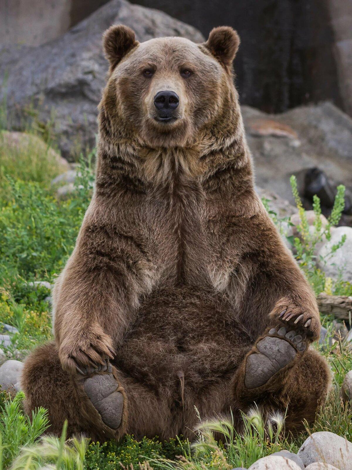 Красивые картинки бурого медведя