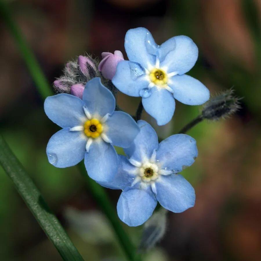 красивые фото цветов незабудок или мультяшные зимние