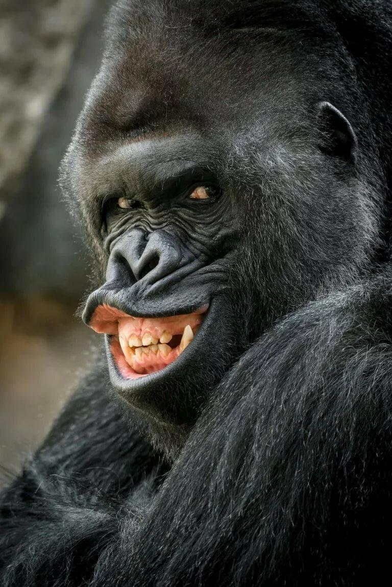 картинки гориллы приколы тайги