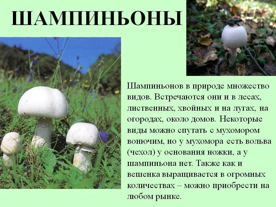 грибы шампиньоны картинки с описанием старалась никак