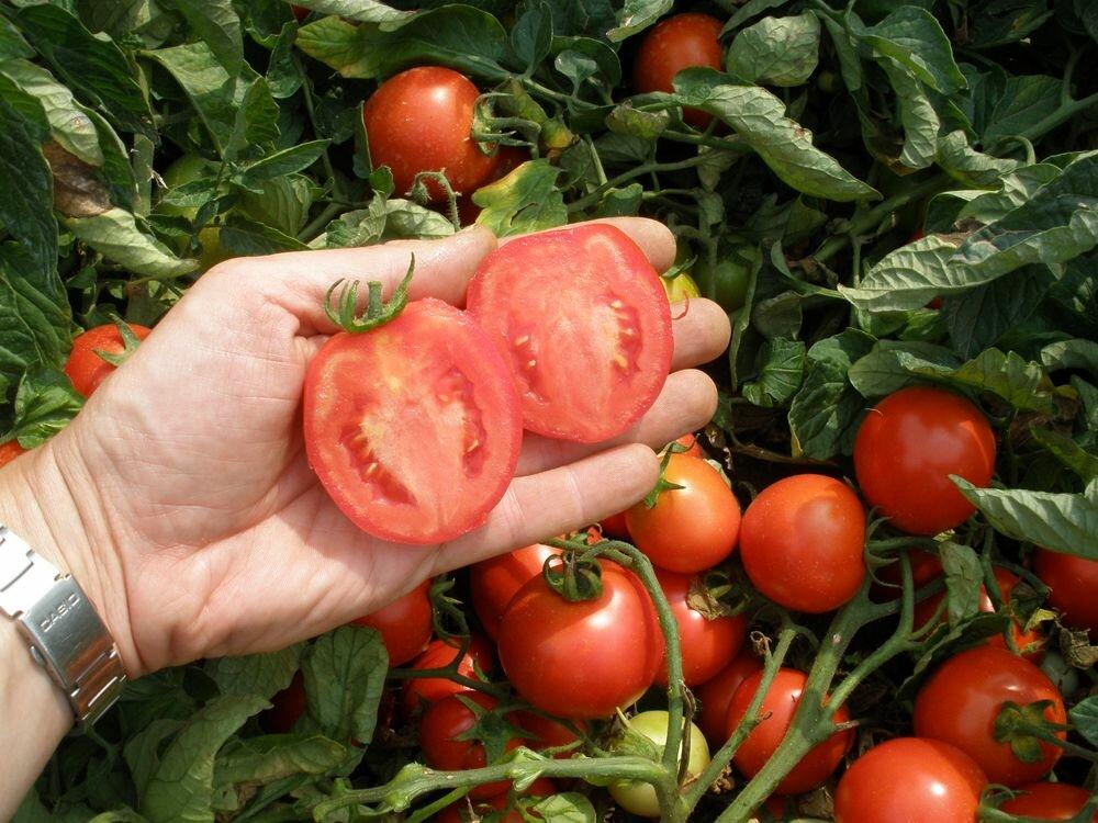 Когда сажать помидоры на рассаду в 2019 году по лунному календарю: сорта
