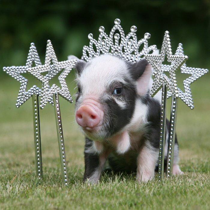 Надписями для, картинки смешных свинюшек