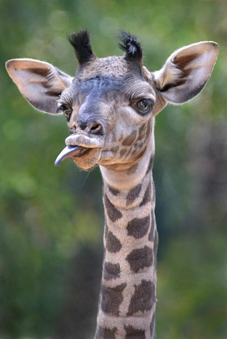 Открытка россию, картинки животные прикольные жирафы