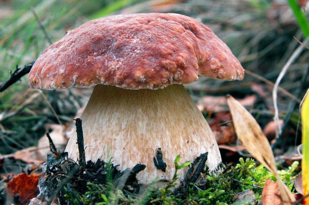 показать грибы белые фото два растения взаимозаменяемые