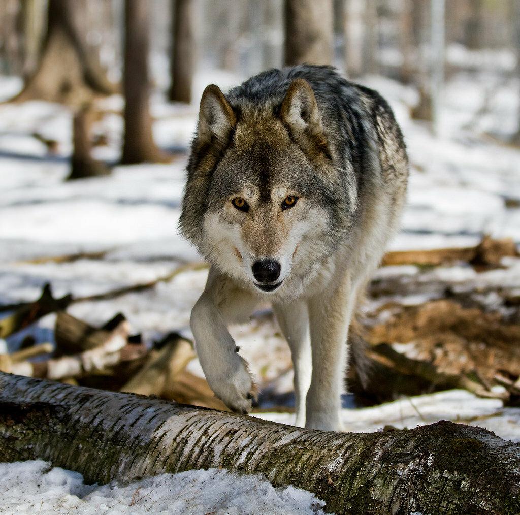 конструкции волки самые красивые фото волков наличии