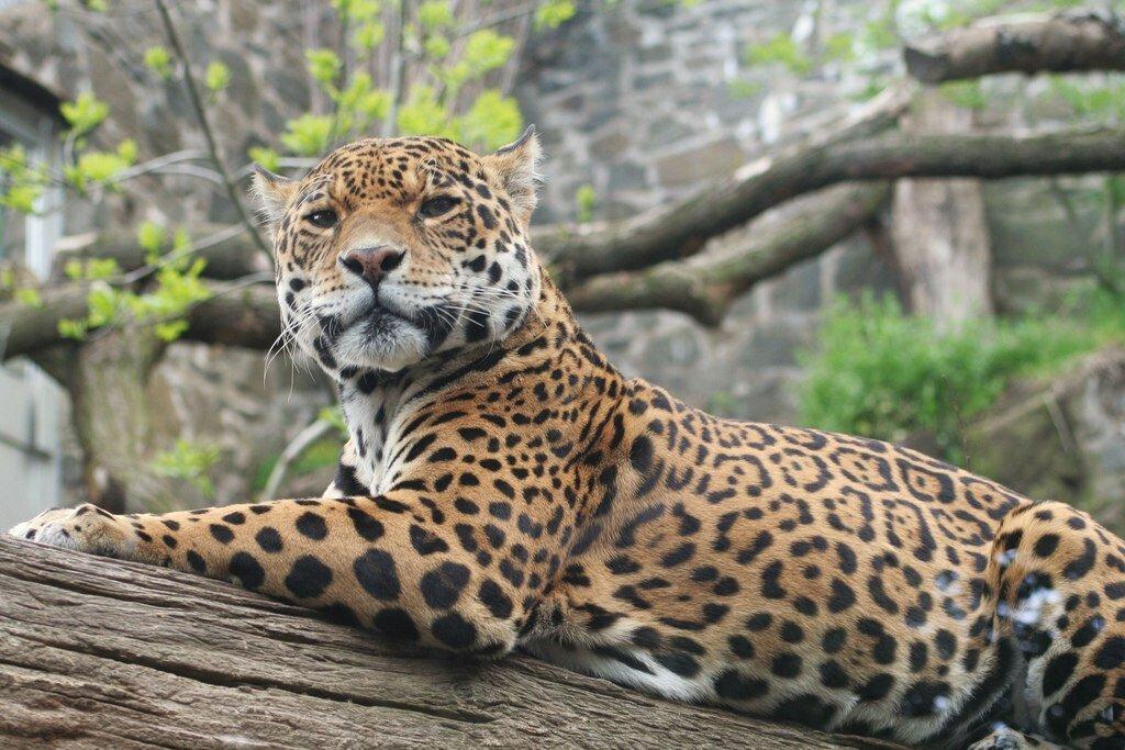 леопард животное фото чем отличается от ягуара подскажите