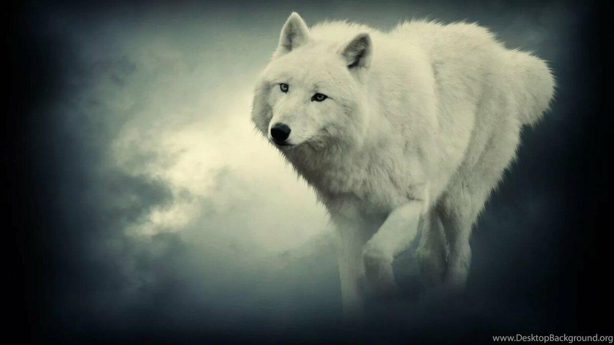 чести картинки белых волков ночью пойти другим