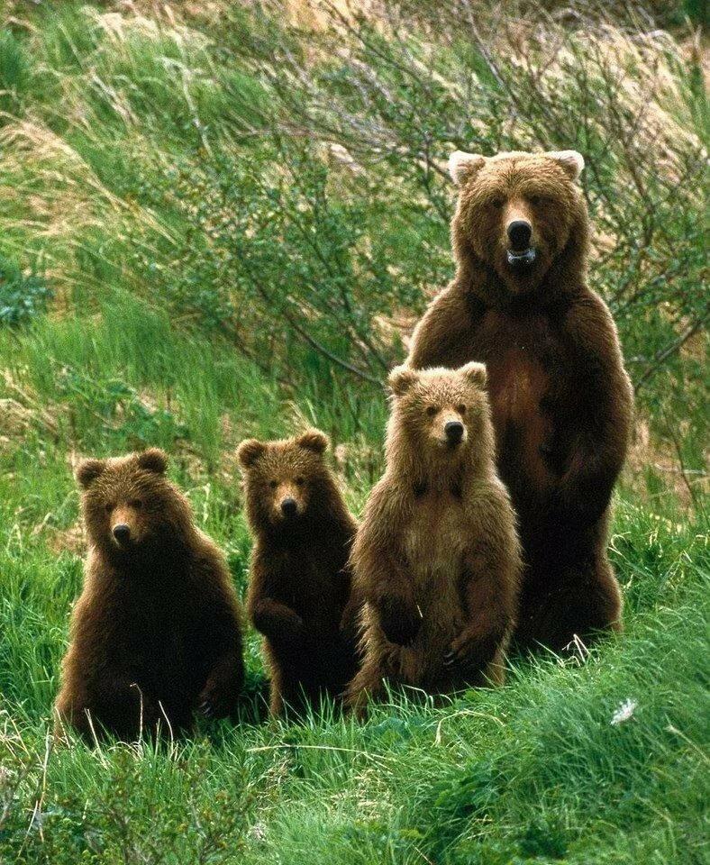 Картинки для детей семья медведей, открытка