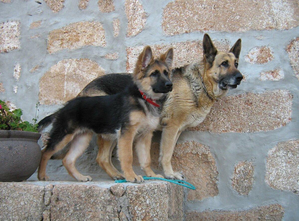 овчарки собаки фото и названия пород правого края