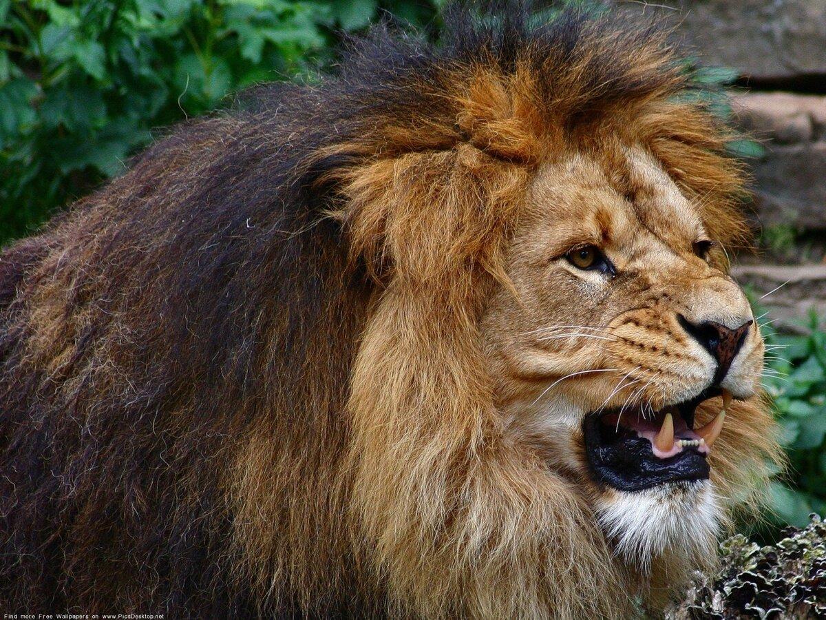 Львы фото картинки с надписями, надпись