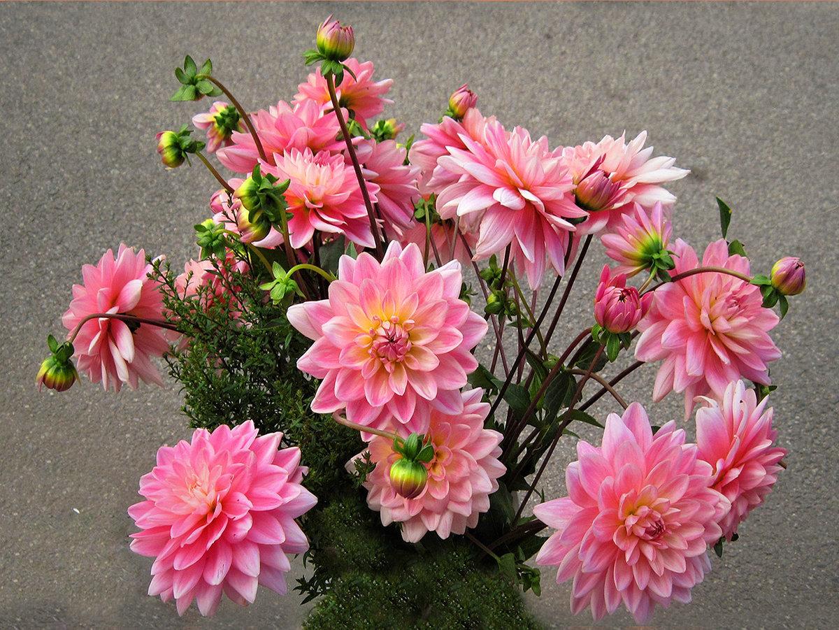 Цветы георгины фото букеты