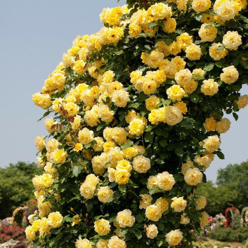 роза казино фото и описание