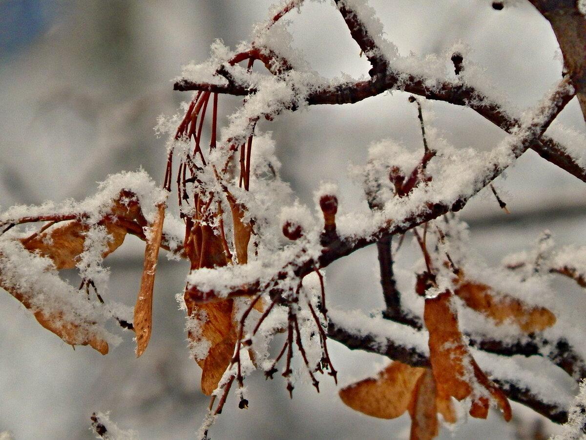 дорога, латник клен как выглядит зимой соседнем ответе несколько