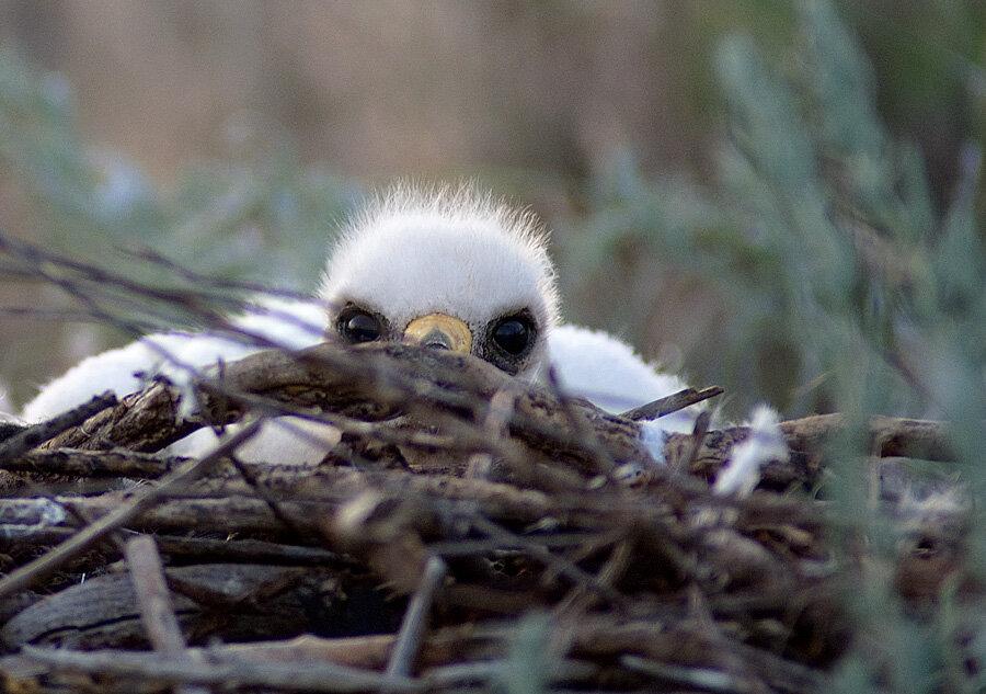 фото птенца орла это