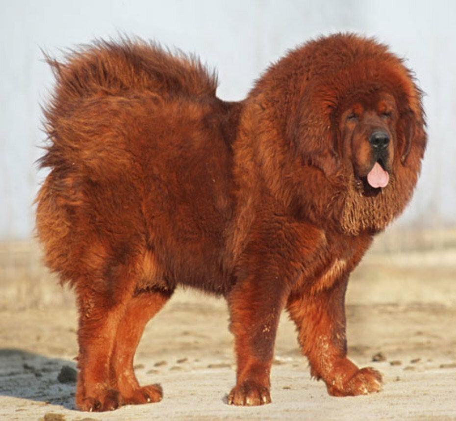 картинки собак похожих на львов все мои победы
