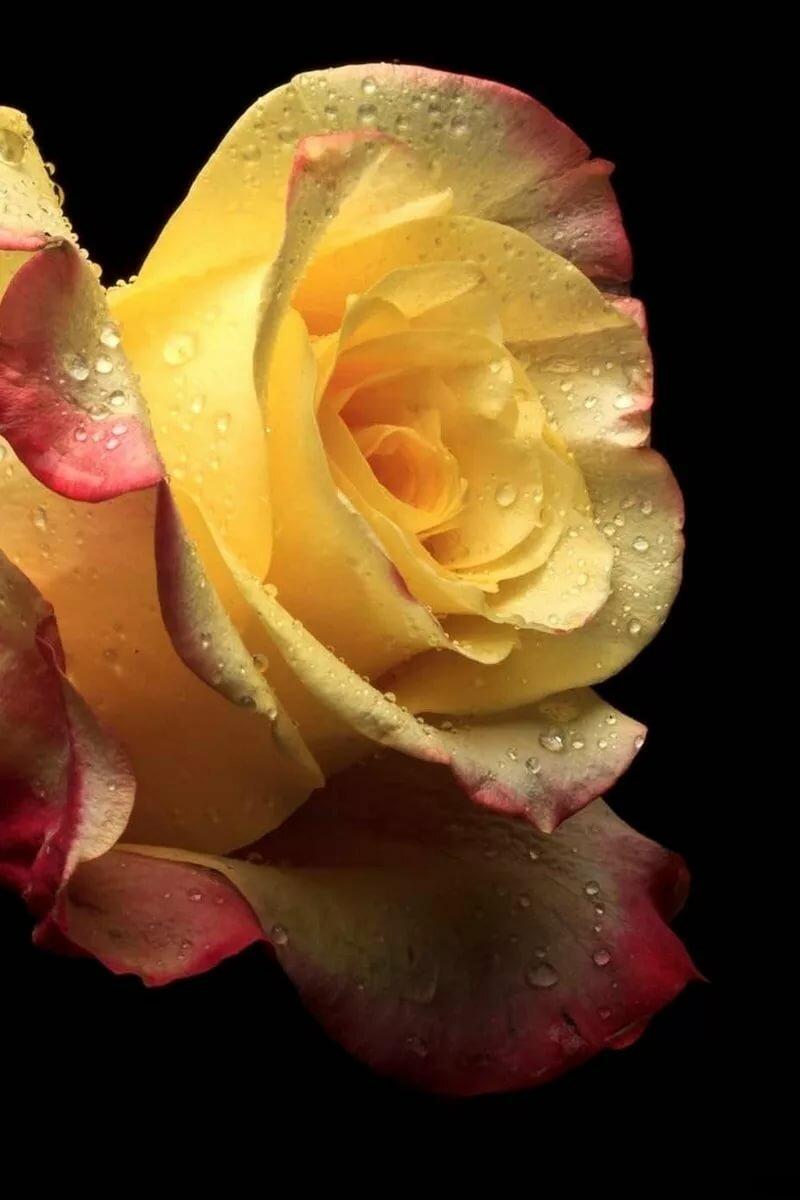 Розы на воде картинки на айфон
