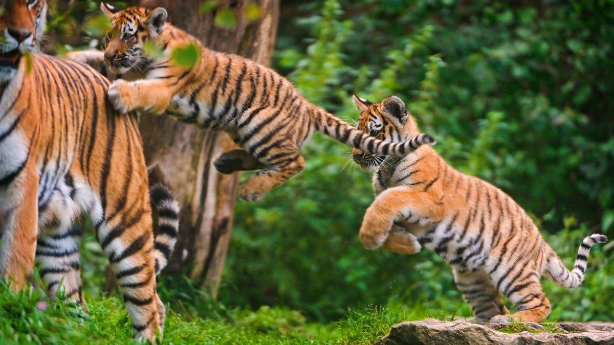 игра, детеныш, прыжок, тигр, тигренок обои на рабочий стол к