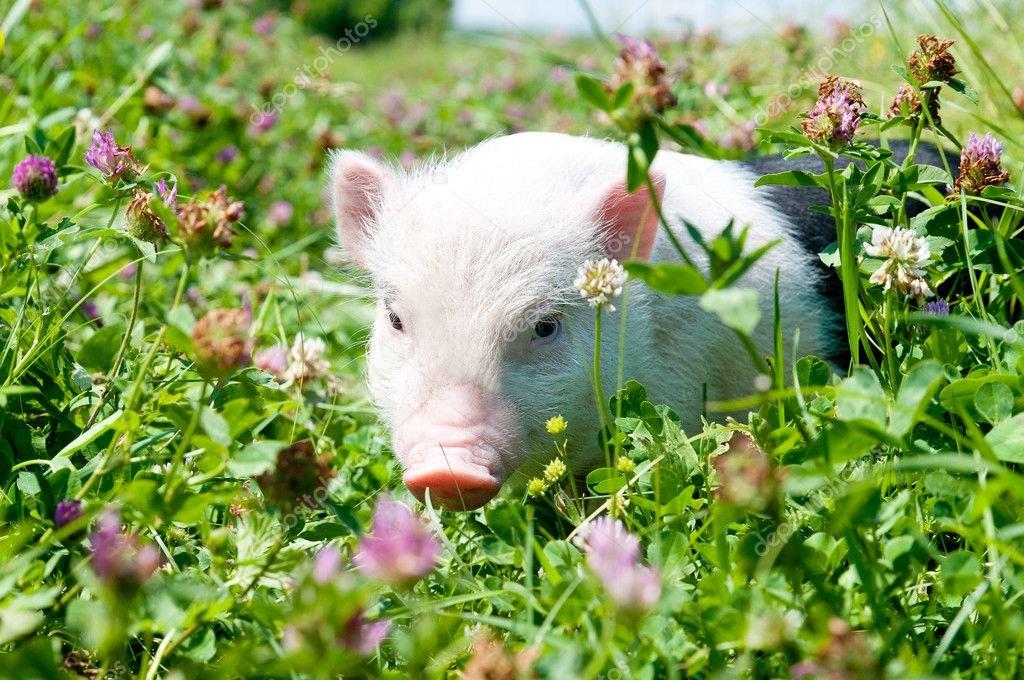 картинки поросята едят траву собаки хорошо развит