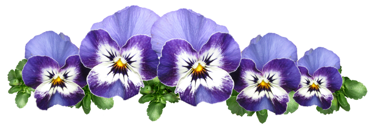 виола цветок рисунок певцов