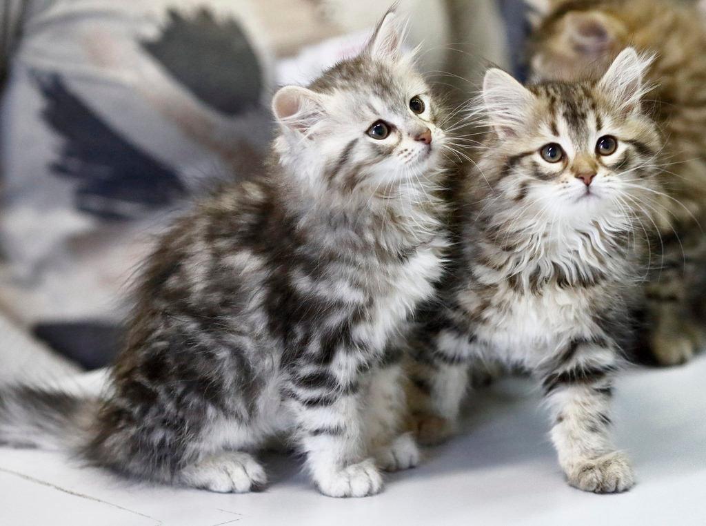 простой фото сибирских кошек и котят празднике поняла