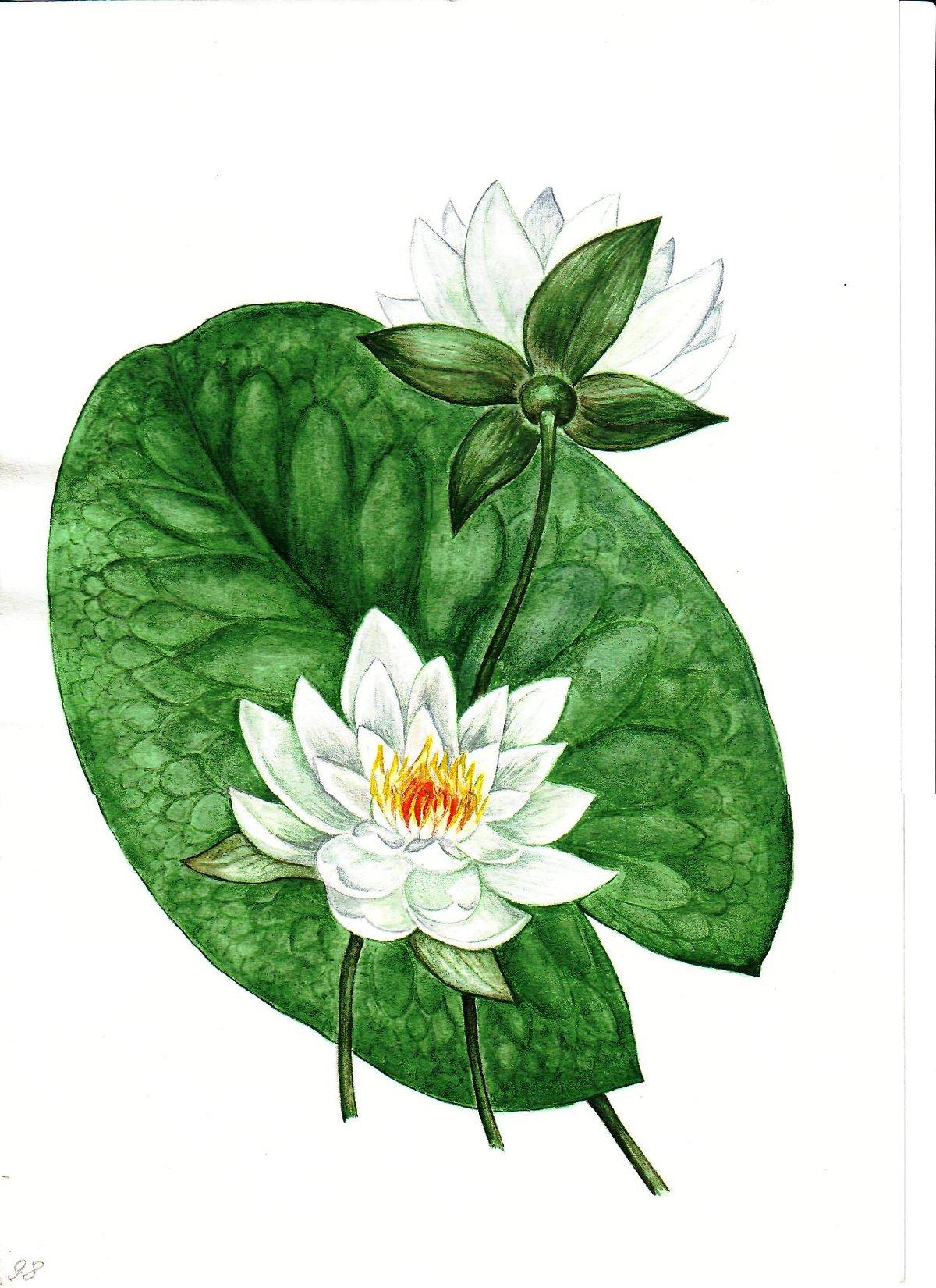 Кувшинка цветок картинка для детей