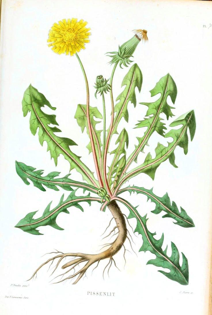 ботаническая открытка одуванчик лекарственный современная