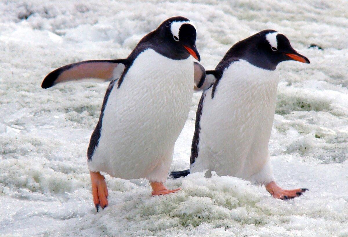 оружие все про пингвинов картинки важно закладывать свой