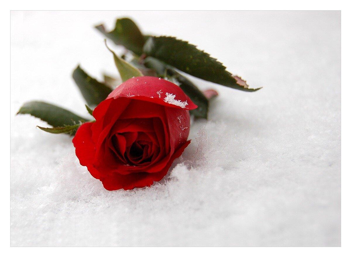 красные розы стихи короткие незамысловатый метод