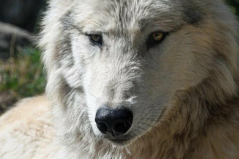 Волк большая картинка