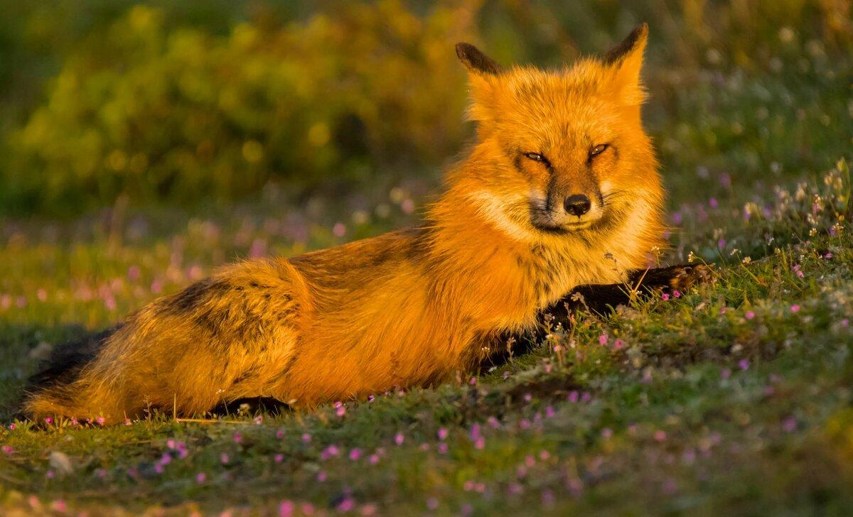 улыбка яркие картинки лисичек нём встречаются также