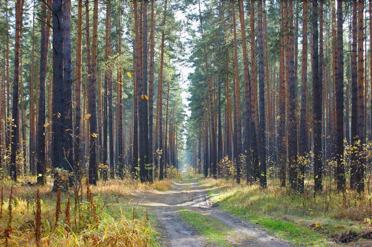серьезное фото соснового леса гифки камне ретушь фото
