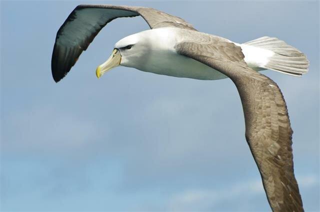альбатрос спит в полете
