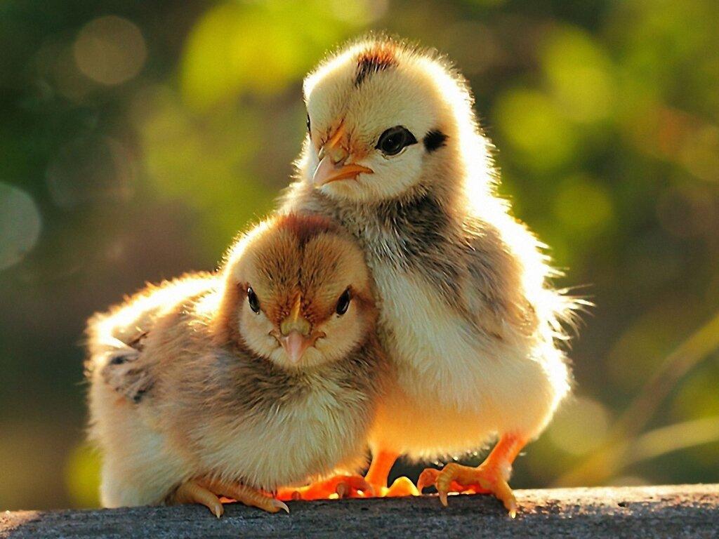 поперечной фото цыплят обои фото