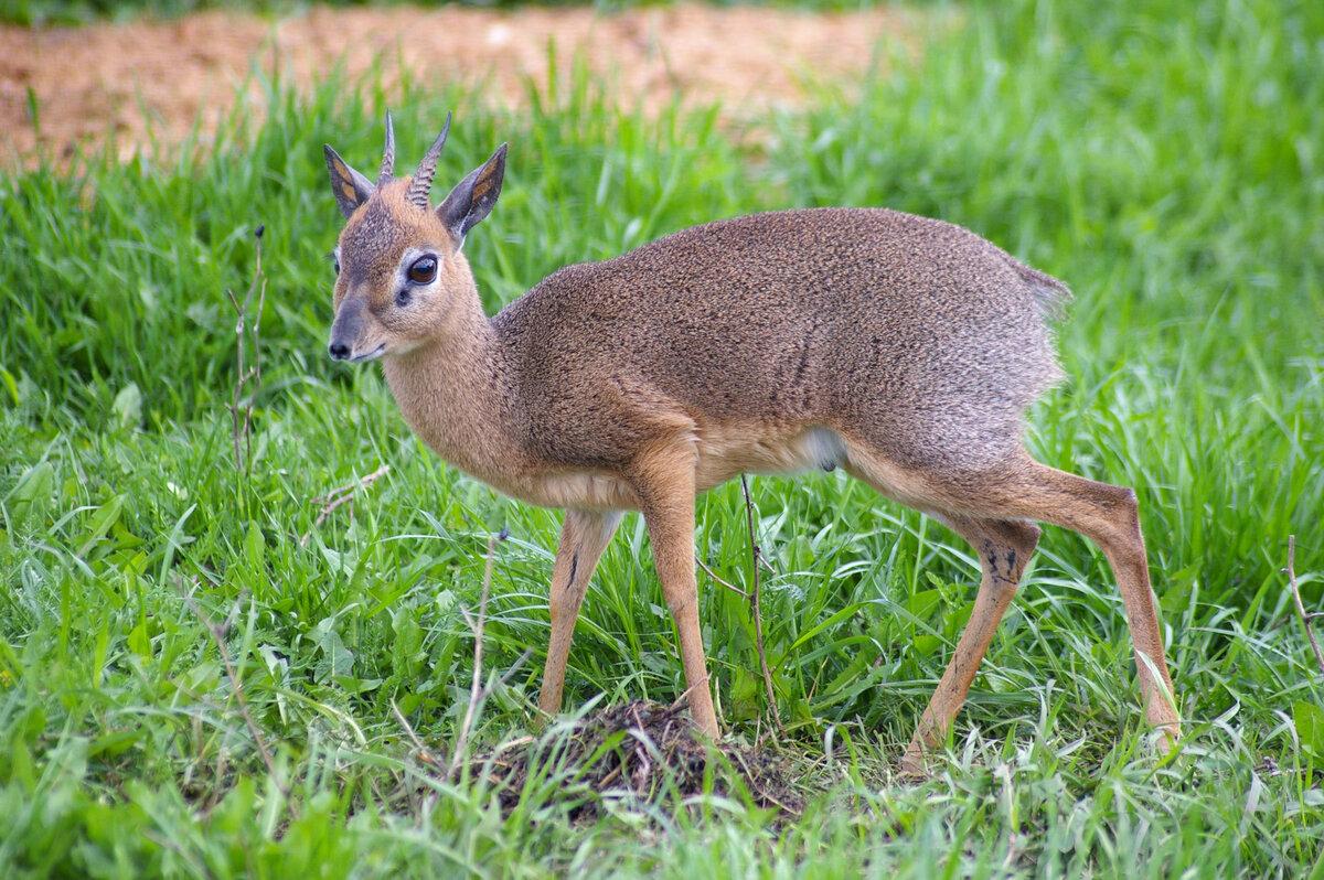 Кабарга фото животное