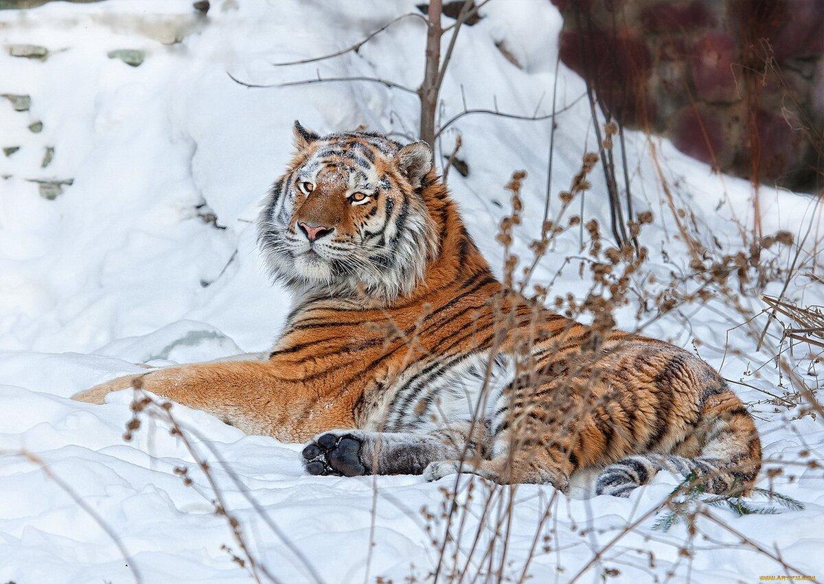 """Амурский тигр"" - card from user Евгения МиÑасенко in Yandex"