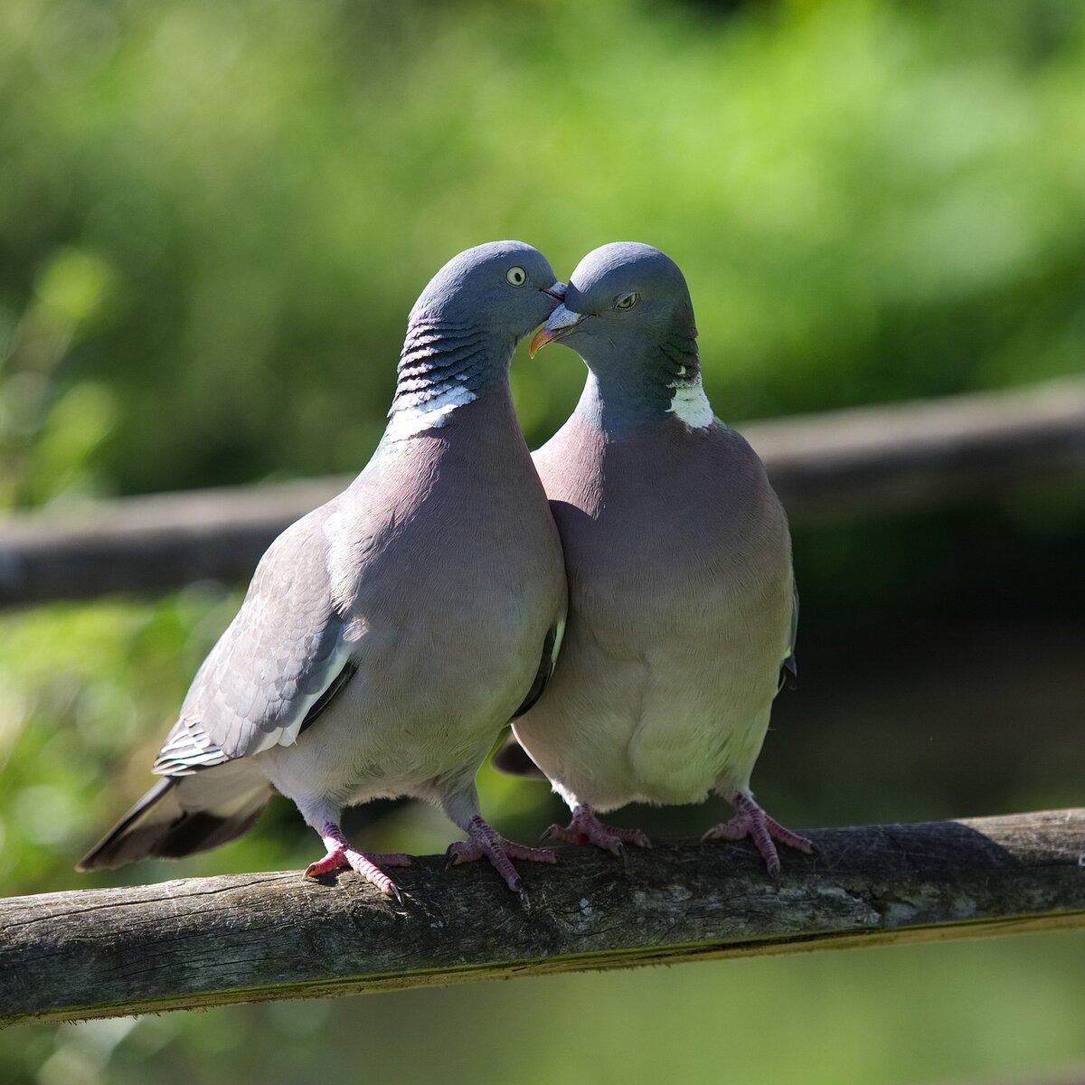 Картинки пара голубей