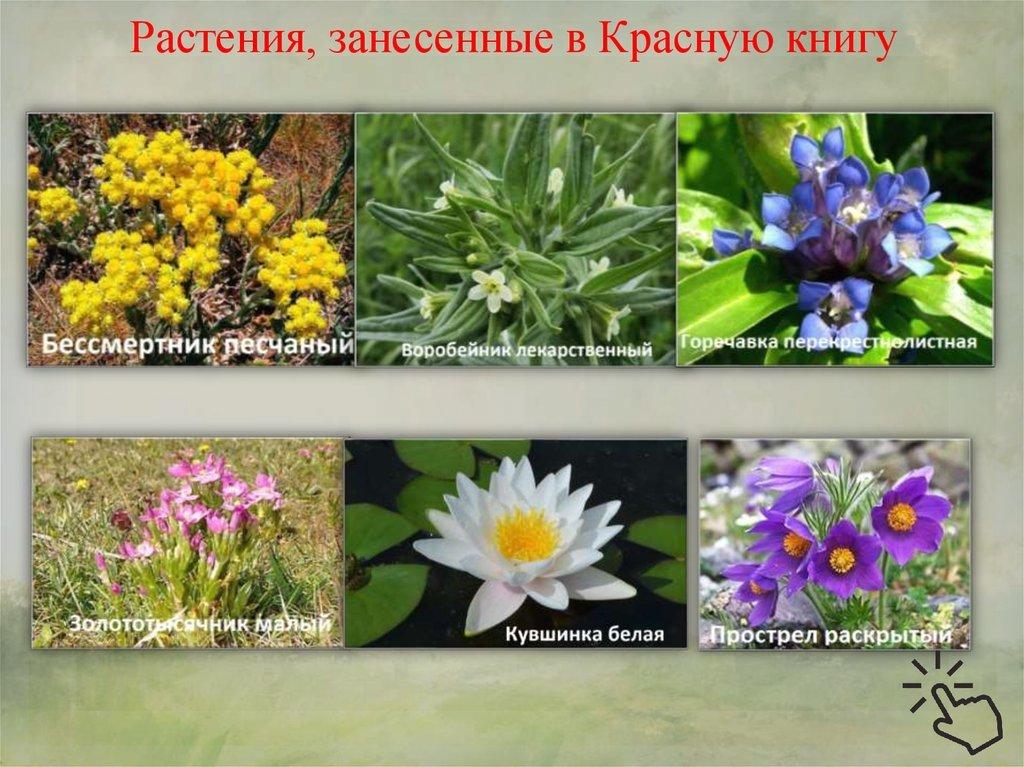 первым предложением фото и названия цветов из красной книги вот уже