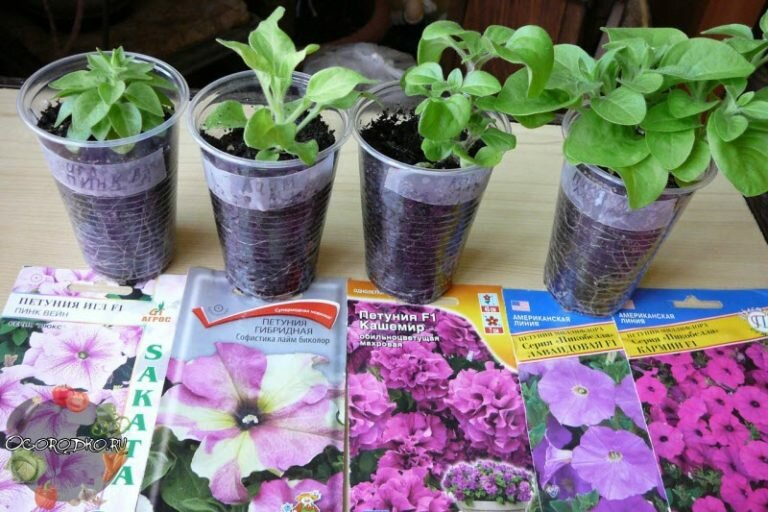 Когда сажать петунию на рассаду в 2019 году: выбор семян