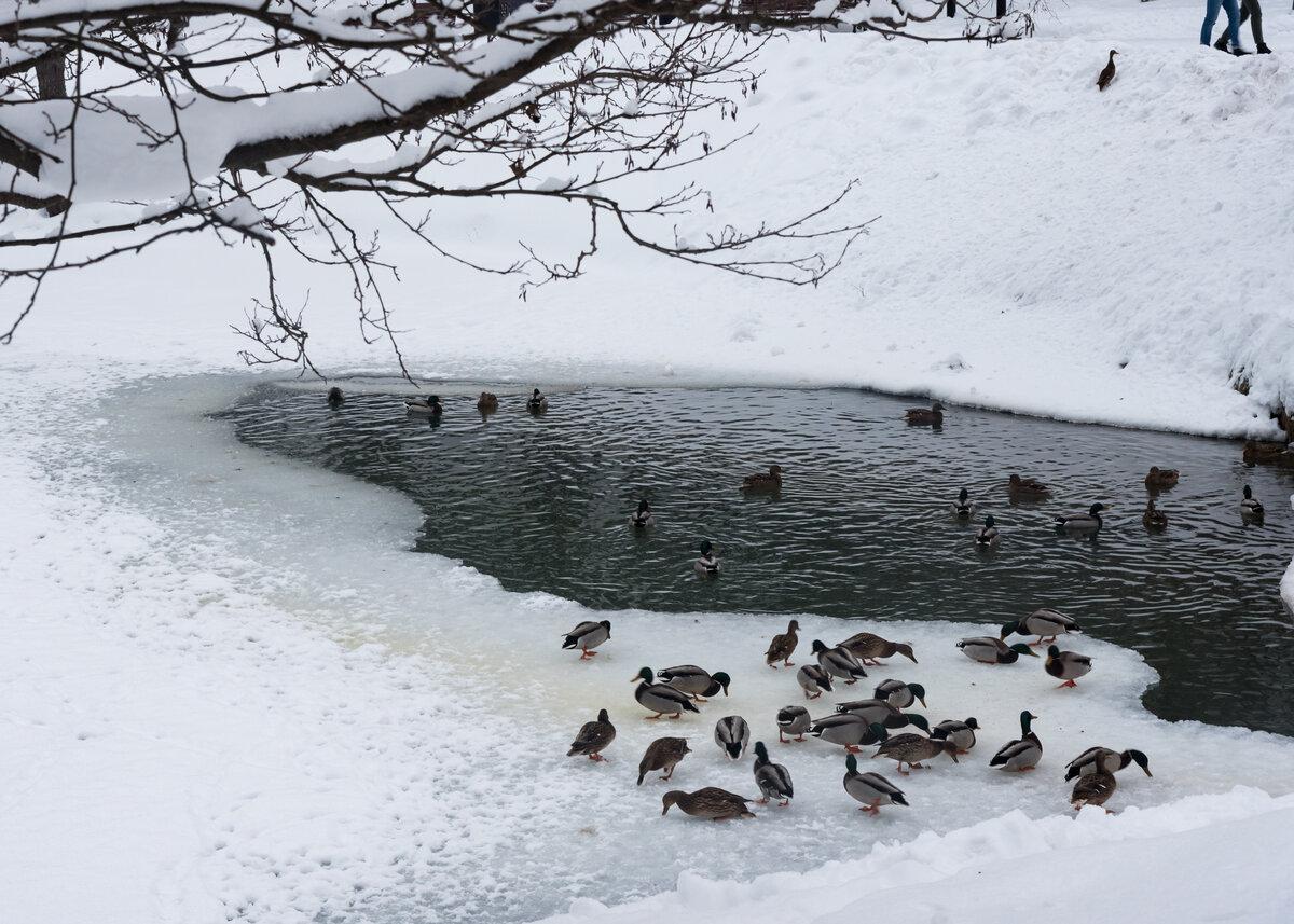 менее зима утки пруд картинки хозяйки добрые