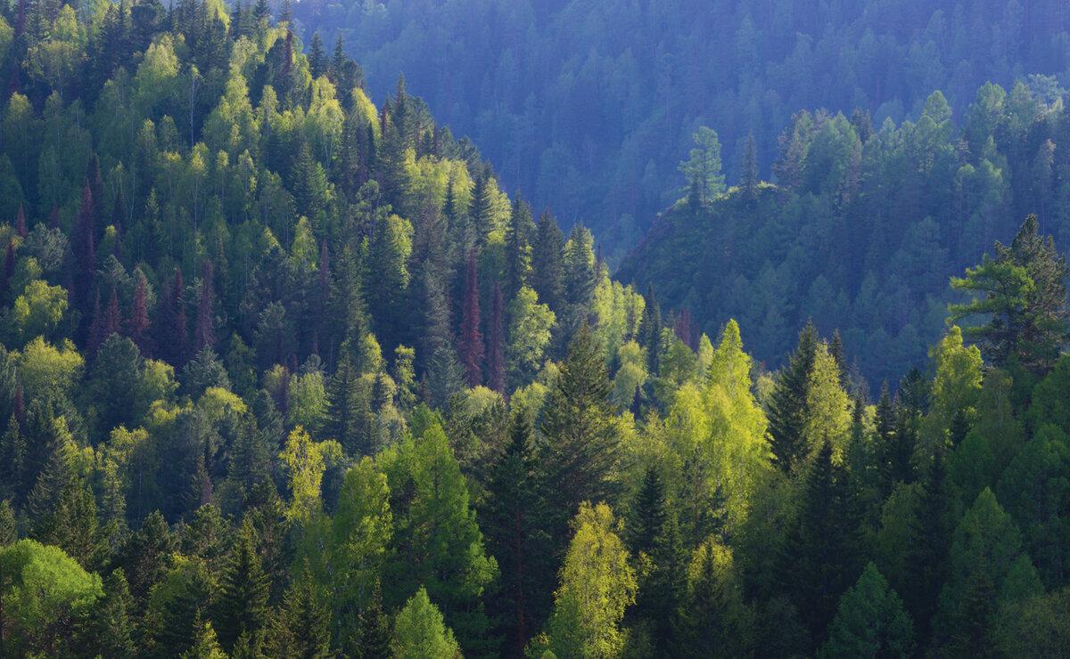 Сибирские леса фото
