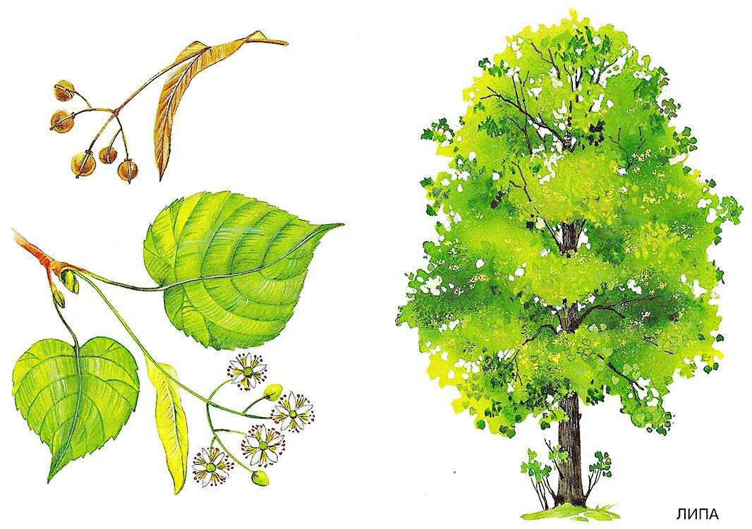 Картинки деревьев с названиями, для открыток