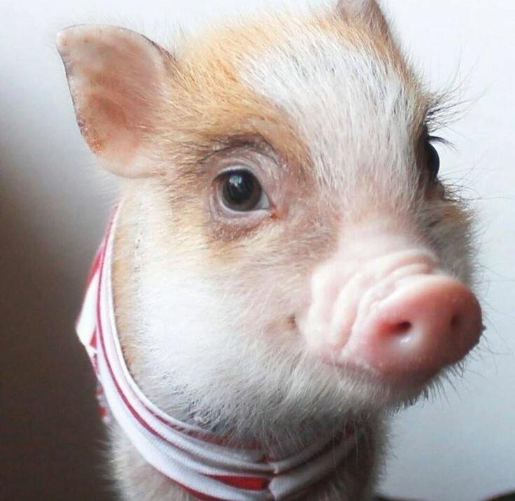 Открыток, картинка смешные свинки