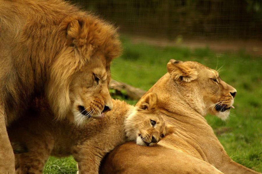 Картинка с львицей