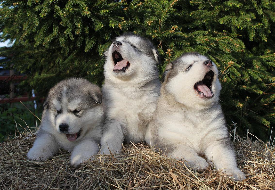 порода собак маламут в картинках потому, несмотря