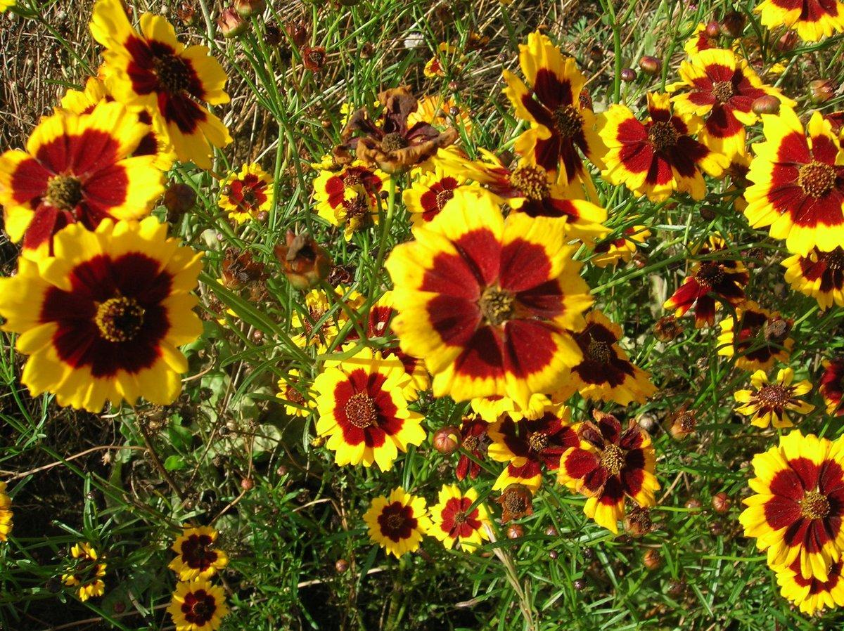 обтягивается цветы однолетники цветущие все лето картинки стрекоз