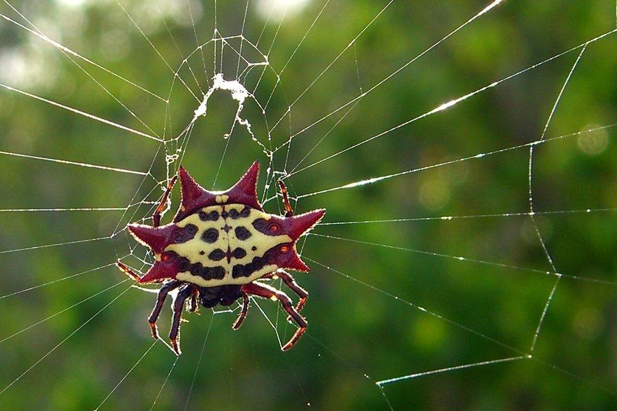того, рогатый паук картинки оформлении