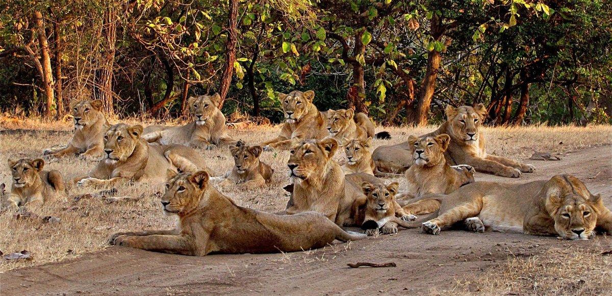 фото прайда львов