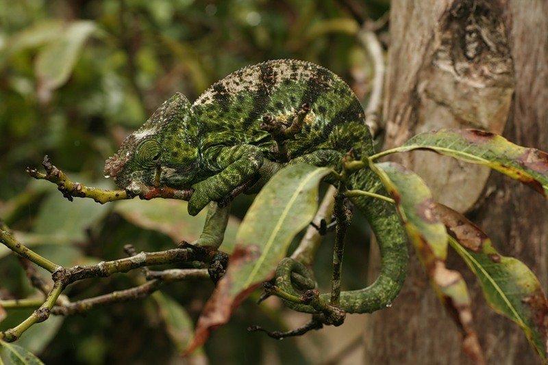 термобелье, хамелеон животное как он маскируется где обитает термобелья Helly