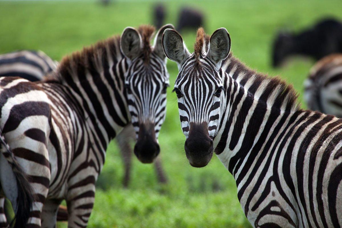 Фото зебры в хорошем качестве