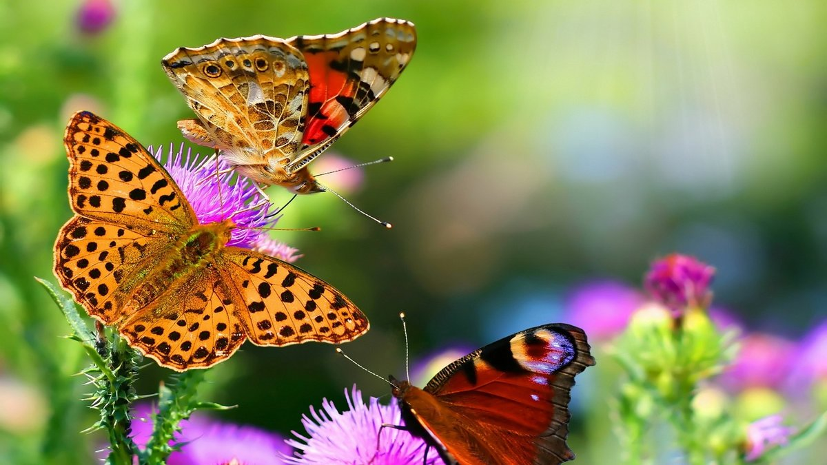 Nature Butterfly Animals HD Wallpapers Hd 1920x1080